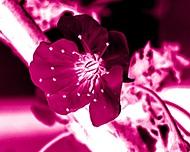 Třešňový květ (Novagueart)