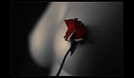 - Rose II - (-lubyk-)