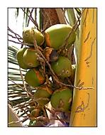 ----kokosů pár...... (sluník)