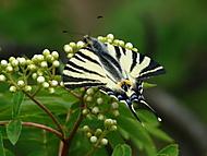 Motyl (Irina)