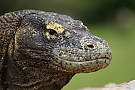 Komodský drak (AlPepone)