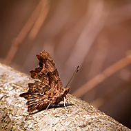 Polygonia c-album (Karol Ox)