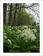 V česnekovém lese 2... (Vlastimil Pibil)