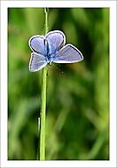 Andělská křídla motýlí (asile)