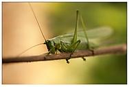 Kobylka zelená (stakotr)