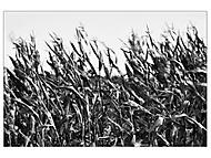 Povězte mi, kukuřice, kudy cesta do vesnice (subal)