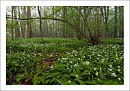 V  česnekovém lese... (Vlastimil Pibil)
