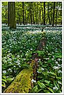 V česnekovém lese 4... (Vlastimil Pibil)