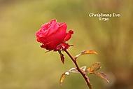 Růže statečná (Megas.Lakkos)