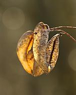Lampion (Megas.Lakkos)