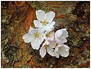 Sakura (milospistol)
