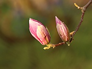 Magnolie pro Aničku (Megas.Lakkos)