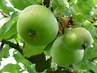 Jablko (beenox)