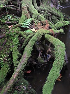 Kořenová chobotnice (honzj)