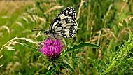 Papillon (atahualpa)
