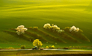 Traktorovka zelená (Uhler)