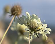Biely kvet (rstana)