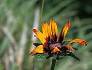 kvetina4 (drachir)