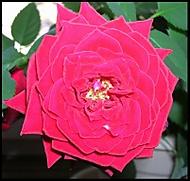 Růžička (Věra Šiklová)