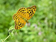 Motýľ (Roman110)