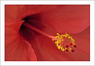 Hibiscus... (Vlastimil Pibil)