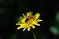 včelka (Sepulcher)