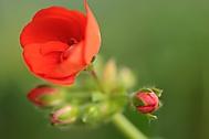 květ ze zimní zahrady (arai)