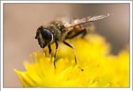 ... včelka (stakotr)