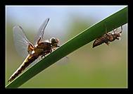zrod vážky (shimmell)