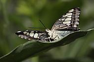 Motýl 8 (Kuběna Miroslav)