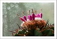 "Melocactus ""tlačí"" semeníky... (Vlastimil Pibil)"