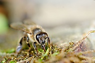 Včelka (D.a.l.i)