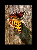 Motýl... (Marikate)