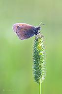 Coenonympha pamphilus (Castlepool)