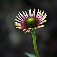 Listopadový květ (Lukáš Pecháček)