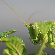 kobylka (akvamiloš)
