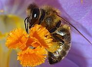opýlená včela (predak-p)