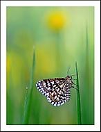 ... s šachovým motýlem (shimmell)