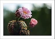 """Kaktusov� """"z�ti��""""... (Vlastimil Pibil)"""