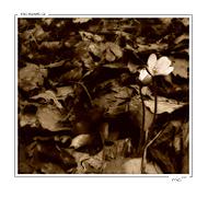 Růže v trní (*mio*)