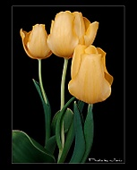 http://galerie.digiarena.e15.cz/data/523/thumbs/Tulips.jpg