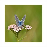 Chytila jsem na pasece motýlka... (DagmarB.)