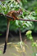 Opička (kohai)