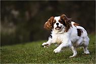 vesele skáče malý psík (motak)