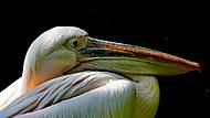 pelikán (rol_men)