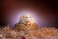 Potkan (djicee)