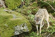 Vlk na Šumavě (Božovský Jiří)