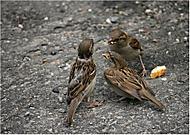 Vrabčí manegement (giomdesampre)
