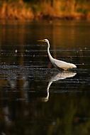volavka bílá (amajk)