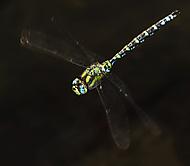 Šídlo modré – Southern Hawker (DUDISKO)